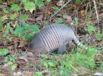 An armadillo for company
